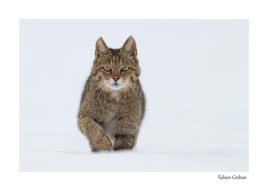 chat forestier en hiver